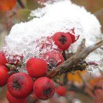 Vogelbeere mit Schnee